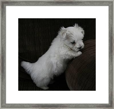 Dani The Maltese Pup Framed Print by BJ Redmond