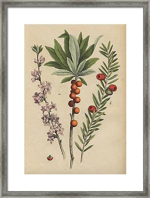 Daphne And Yew Framed Print by German Botanical Artist