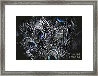 Dark Blue Peacock Feathers  Framed Print
