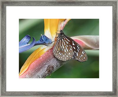 Framed Print featuring the photograph Dark Blue Tiger Butterfly - 1 by Paul Gulliver
