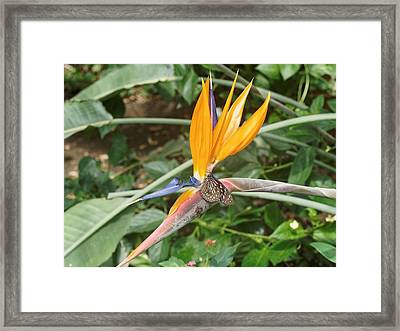Framed Print featuring the photograph Dark Blue Tiger Butterfly - 2 by Paul Gulliver