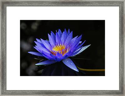 Dark Blue Water Lily Framed Print