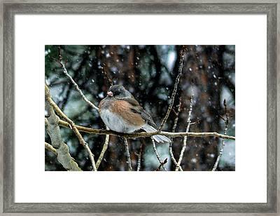 Dark-eyed Junco During A Snowfall Framed Print