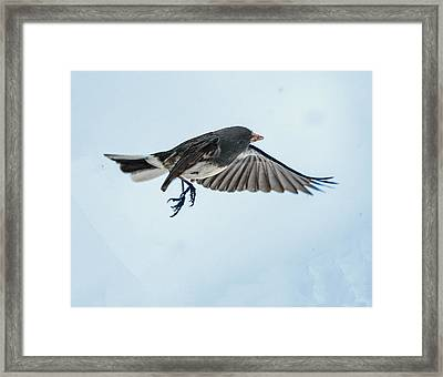 Dark-eyed Junco Flying Framed Print