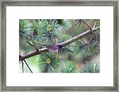 Dark-eyed Junco On A Pine Tree Framed Print by David Gn