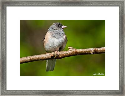 Dark Eyed Junco Perched On A Branch Framed Print
