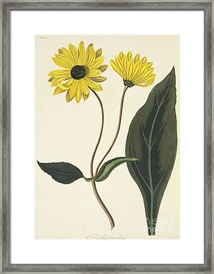 Dark Eyed Sunflower Framed Print