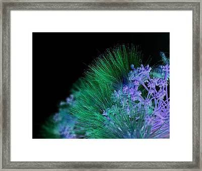 Dark Mimosa Framed Print by James Granberry