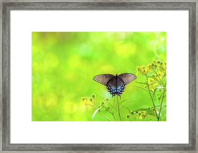 Framed Print featuring the photograph Dark Morph Female Tiger Swallowtail Butterfly by Lori Coleman
