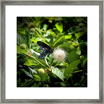 Dark Morph Of The Eastern Tiger Swallowtail Butterfly Framed Print