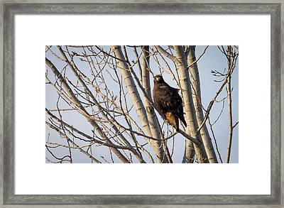 Framed Print featuring the photograph Dark-morph Western Red-tailed Hawks by Ricky L Jones