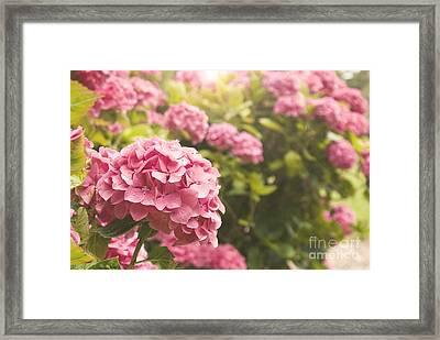 Dark Pink Hydrangea Framed Print