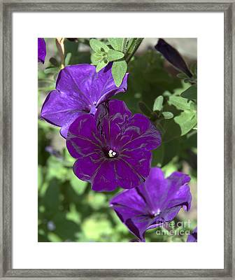 Dark Purple Petunias Framed Print