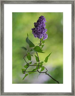 Dark Violet Lilac Framed Print