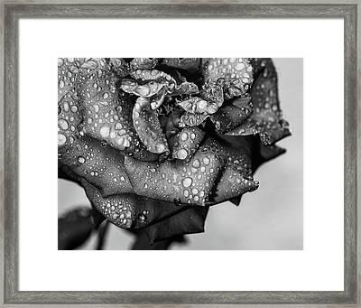Dark Wet Rose Framed Print