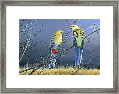 Darkness Before The Deluge - Pale-headed Rosellas Framed Print