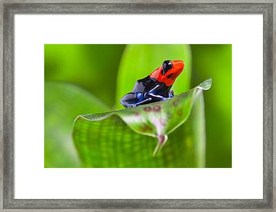 Dart Frog Framed Print by Dirk Ercken