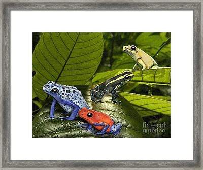 Dart-poison Frogs - Poison-dart Frogs Dendrobatidae - Baumsteiger Frosch - Pijlgifkikkers Framed Print by Urft Valley Art