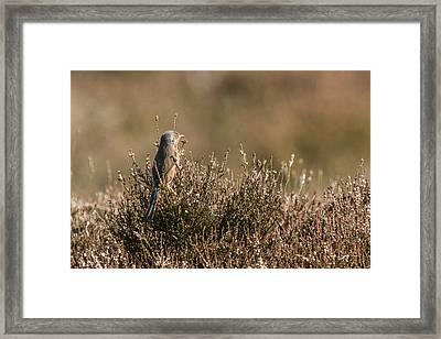 Dartford Warbler Framed Print