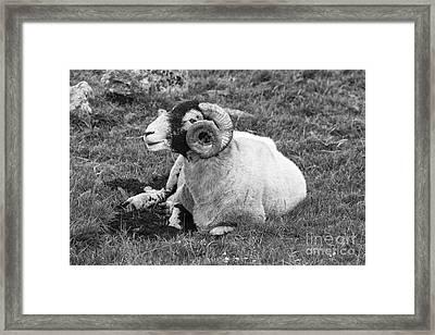 Dartmoor Sheep 1 Framed Print by Ian Dagnall