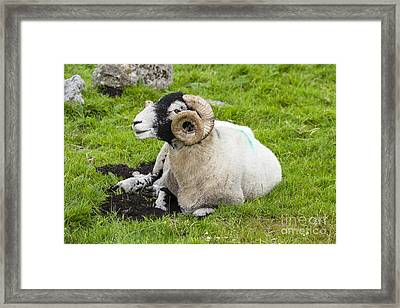 Dartmoor Sheep 2 Framed Print by Ian Dagnall
