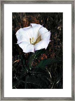 Datura Blossum Framed Print by Richard Henne