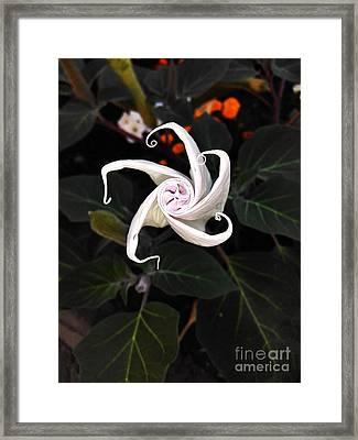 Datura Bud  Framed Print