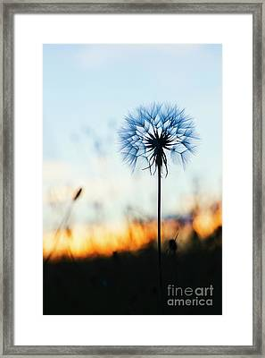 Dawn Seedhead Framed Print by Tim Gainey