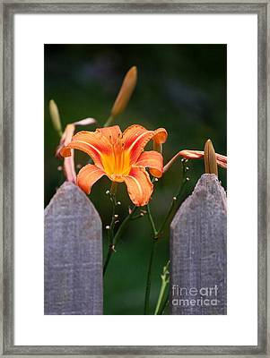 Day Lilly Fenced In Framed Print by David Lane
