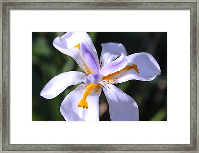 Day Lily 3 Framed Print by M Diane Bonaparte