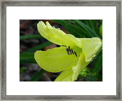 Day Lily And Raindrops Closeup Framed Print by Warren Thompson