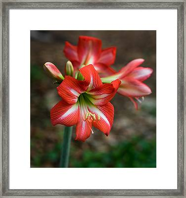 Day Lily Framed Print by Denise McKay