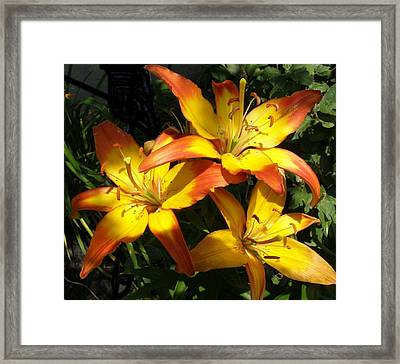 Daylilies Dressed In Their Best Framed Print by Jeanette Oberholtzer
