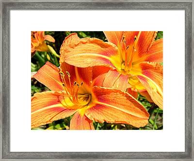 Daylillies In Bloom Framed Print by Margaret G Calenda