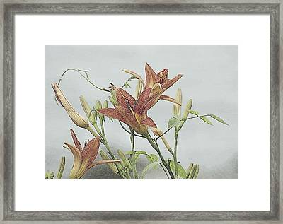 Daylilly Dreaming Framed Print