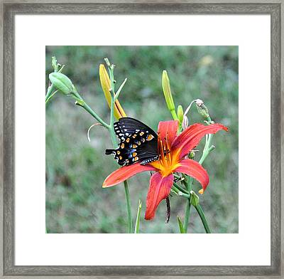 Daylily Delight 2 Framed Print