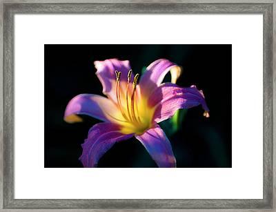Daylily Glow Framed Print by Tamyra Ayles