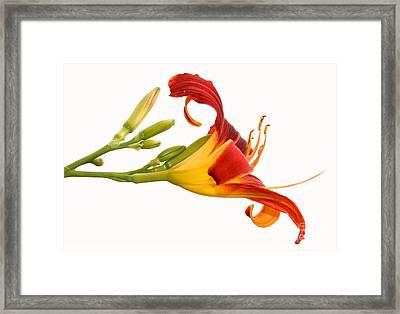 Daylily  Framed Print by Steve Augustin