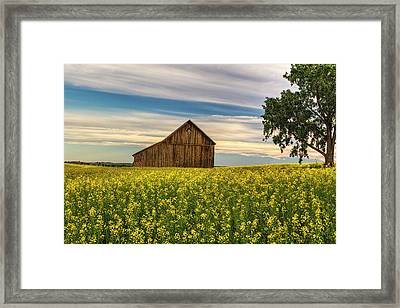 Dazzling Canola In Bloom Framed Print by Mark Kiver