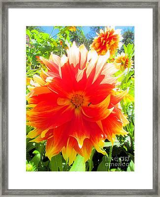 Dazzling Dahlia Framed Print by Elizabeth Dow