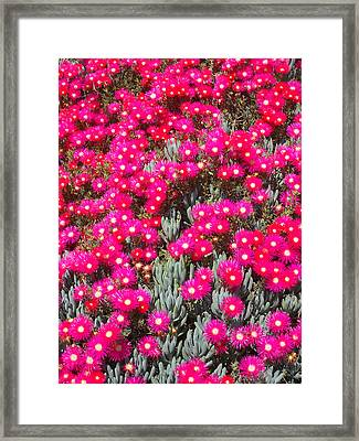 Dazzling Pink Flowers Framed Print by Mark Barclay