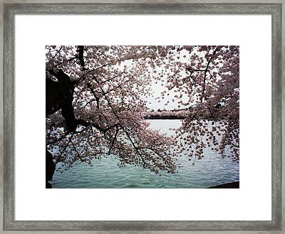 Dc Cherry Blossoms Framed Print by Joyce Kimble Smith