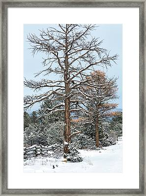 Dead Ponderosa Pines In Winter Framed Print