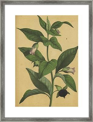 Deadly Nightshade Atropa Belladonna Framed Print by German Botanical Artist