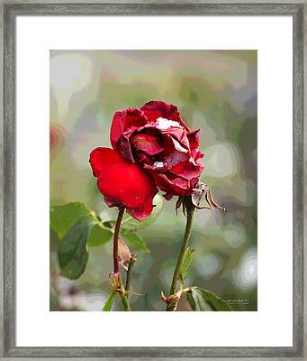 December Rose #12 Framed Print