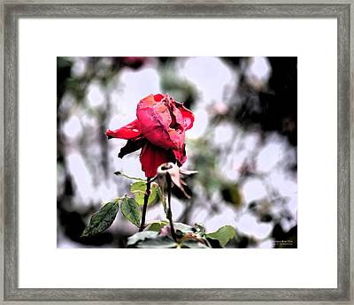 December Rose #16 Framed Print