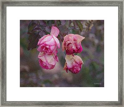 December Rose #263 Framed Print