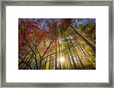 Decorated By Japanese Maple Framed Print