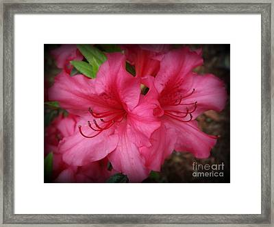 Deep Pink Rhododendrons Framed Print by Lingfai Leung
