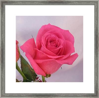 Single Deep Pink Rose Framed Print